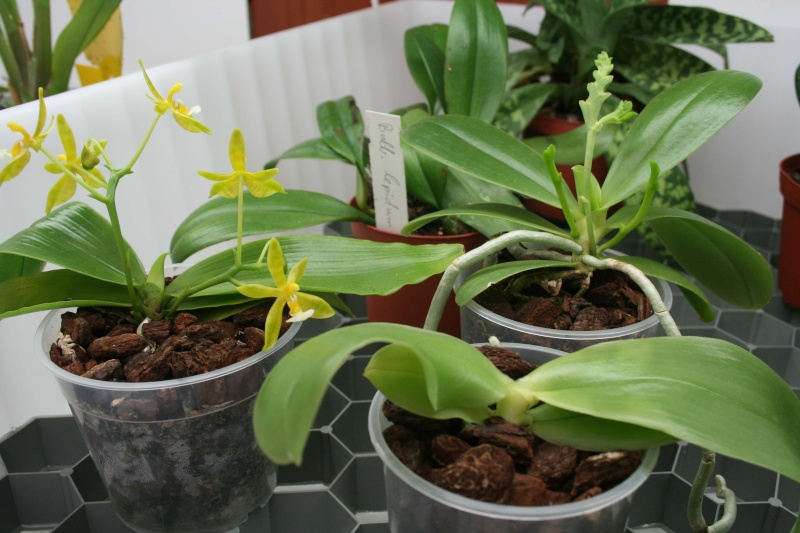 "Phalaenopsis bellina ""Country Acres"" x ""Wu"" Trio10"