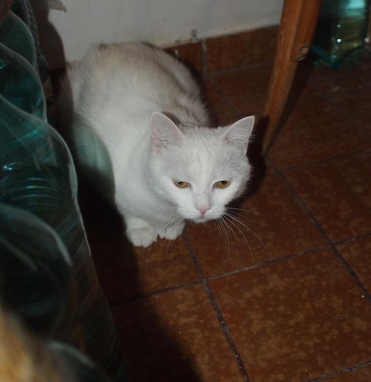 PRINCESSE, chatte née en 2010 env. (CARMINA) En FA chez Yas.h (Belgique) Prince10