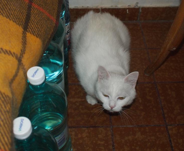 PRINCESSE, chatte née en 2010 env. (CARMINA) En FA chez Yas.h (Belgique) Prince12