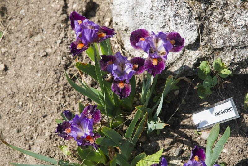 Première floraison de l'année. Chemis10