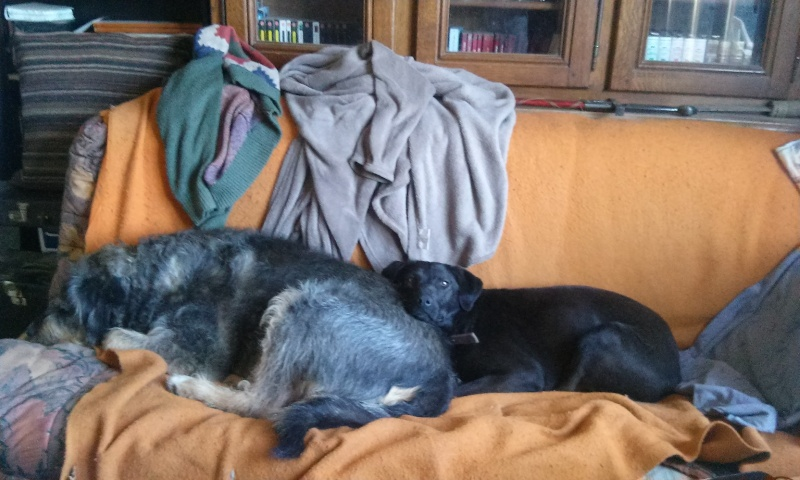 ZEBULON - mâle, croisé labrador (PASCANI) - chez Chantal(depart63) - ADOPTE PAR PATRICK (63) - Page 6 6010