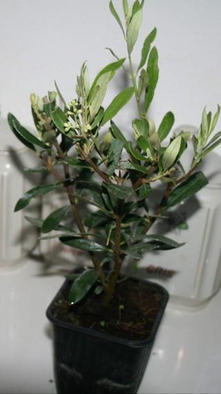 La culture et l'entretien de l'olivier- -Olea Europea - Page 4 Olivie12