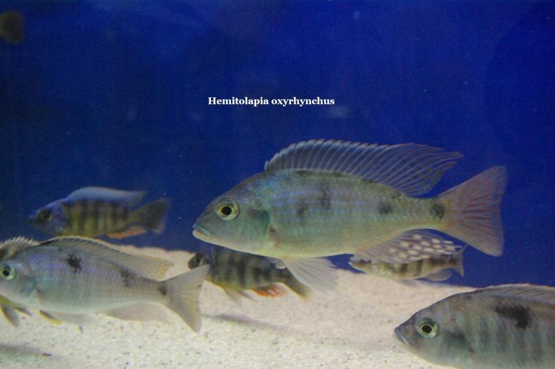 Hemitolapia oxyrhynchus Hemito10