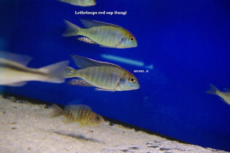 Lethrinops red cap Itungi Lethri12