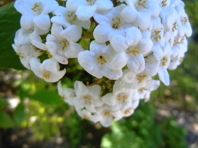 Viburnum x burkwoodii 19_avr10