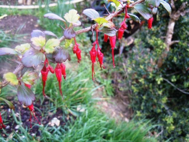 Ribes speciosum Octobr13