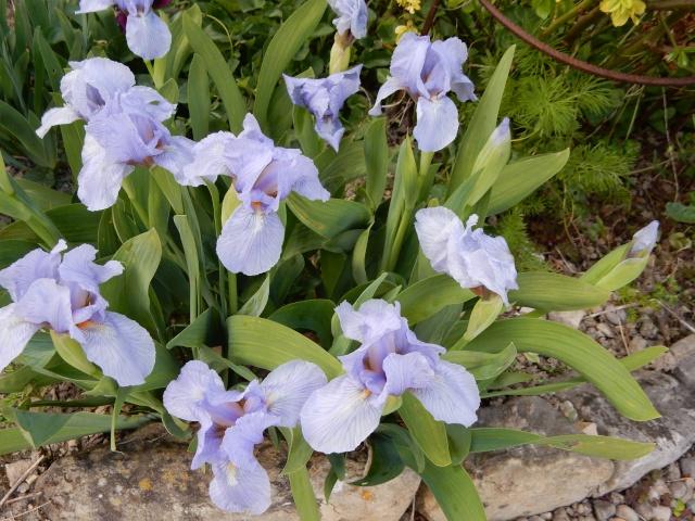 Iris nains horticoles 2012-2015 - Page 5 Octobr16