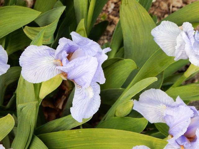 Iris nains horticoles 2012-2015 - Page 5 Octobr17