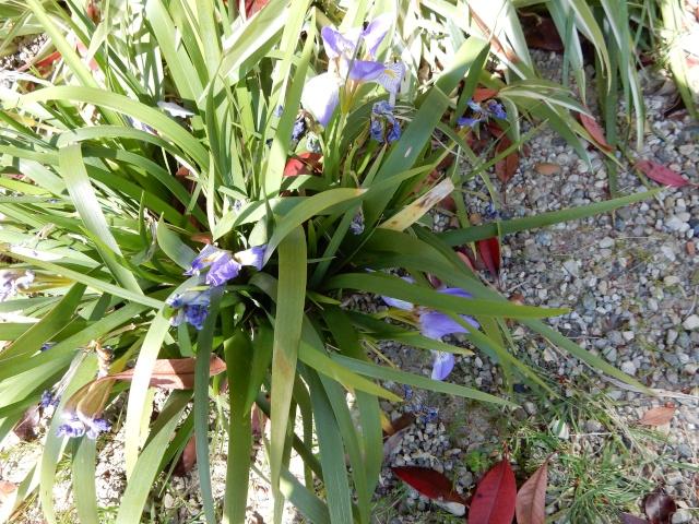 Iris lazica  Octobr18