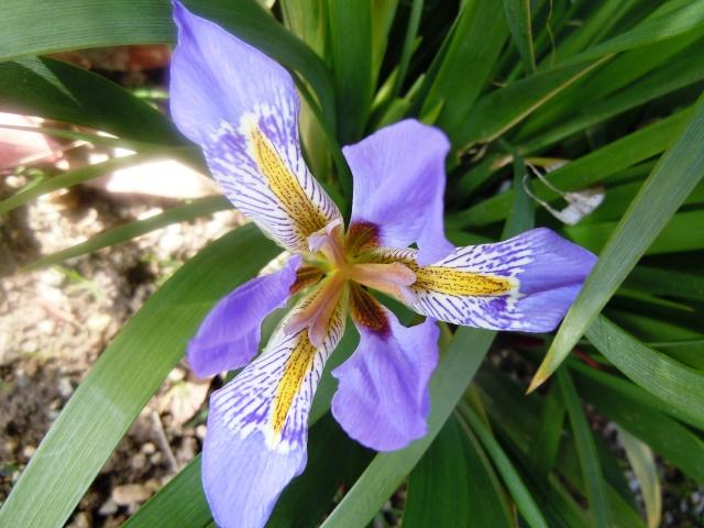 Iris lazica  Octobr19