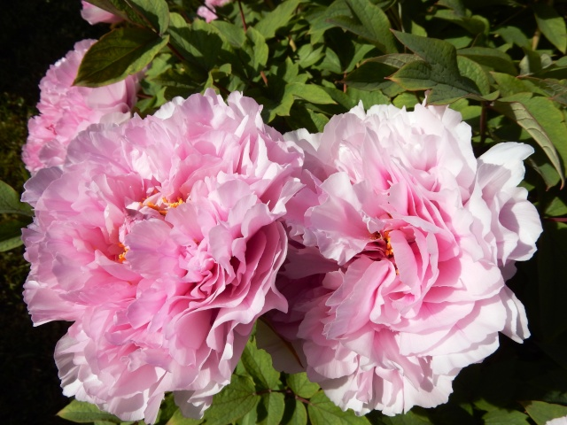 Paeonia - pivoines arbustives - Page 4 Octobr20