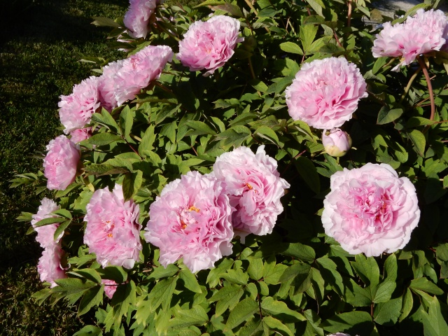 Paeonia - pivoines arbustives - Page 4 Octobr23