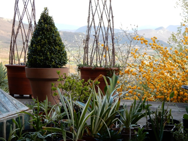 Kerria japonica - corète du Japon Octobr26