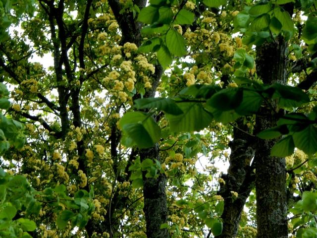 Rosa banksiae 'Lutea Plena' Octobr33