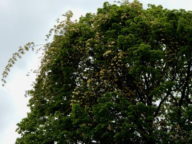 Rosa banksiae 'Lutea Plena' Octobr35