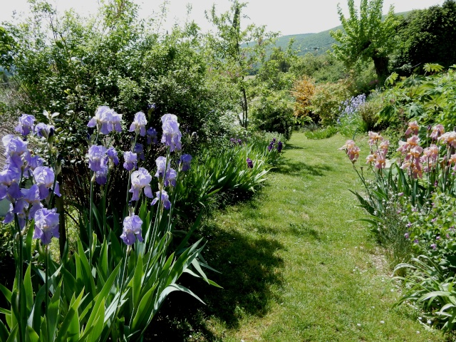 Iris pallida - groupe pallida Octobr42