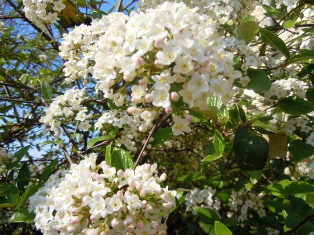 Viburnum x burkwoodii Viburn10