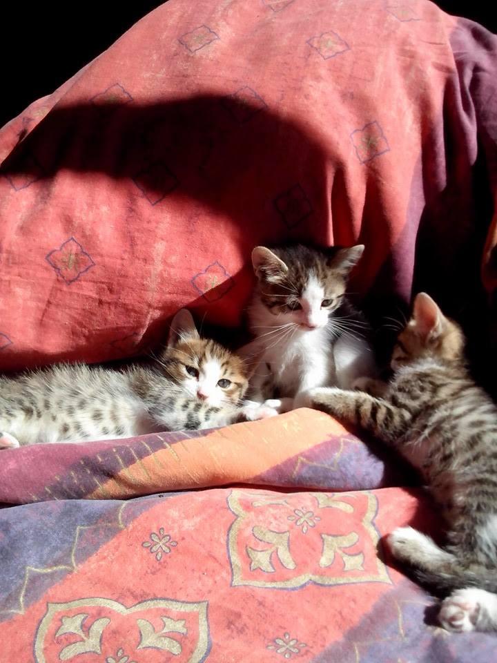 Léa, Tabby et Blanc née en Mars 2015 11069911