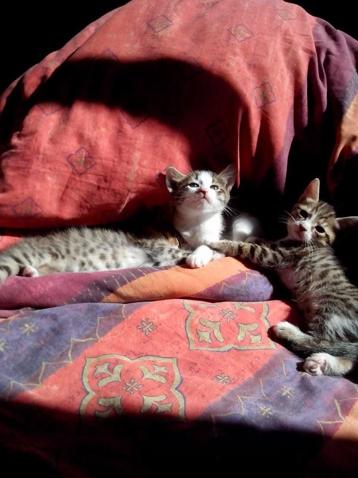Léa, Tabby et Blanc née en Mars 2015 11156311