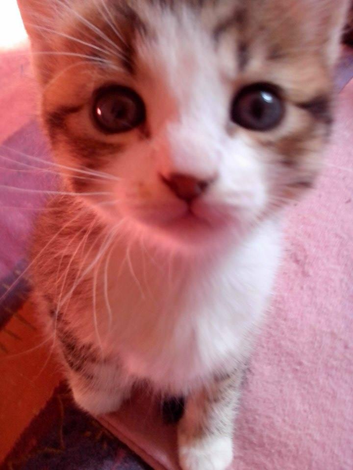 Loukoum - Tabby et blanc né en Mars 2015 11160310