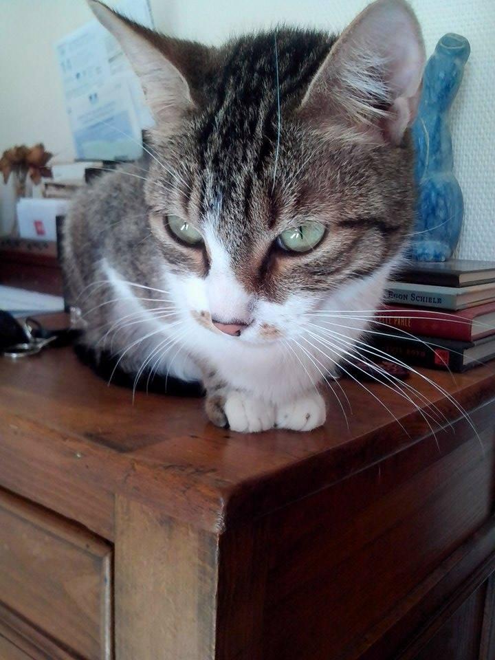 Esmeralda, tabby et blanc, née en octobre 2013 11160410