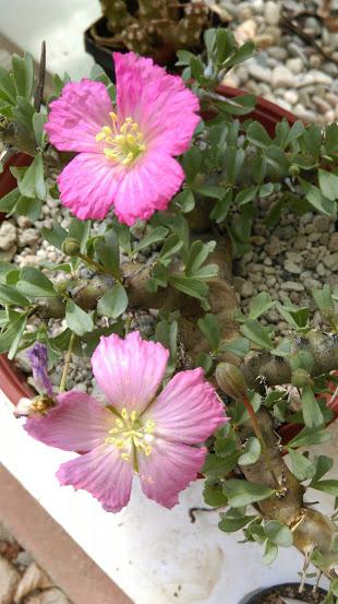 Monsonia patersonii Imag0821