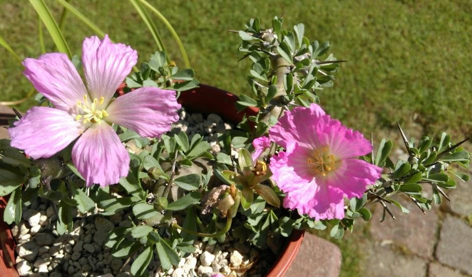 Monsonia patersonii Imag0927