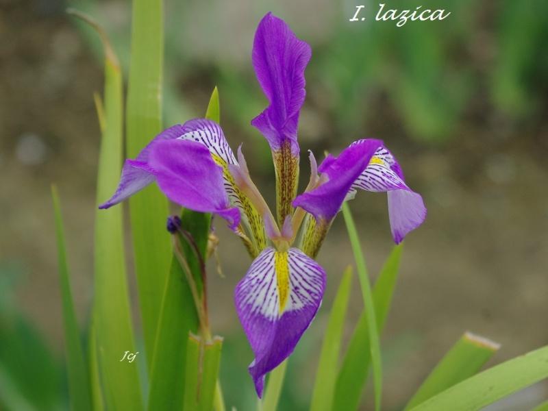 Iris lazica I_lazi10