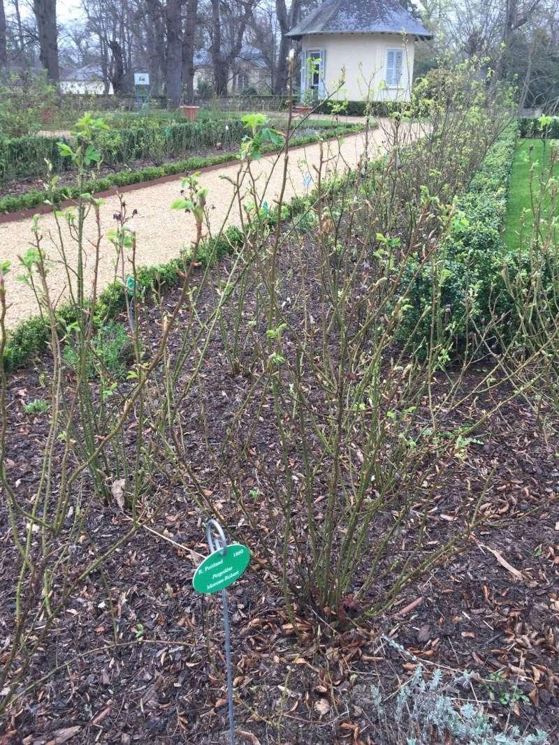 Visite de la roseraie de la Malmaison Pergol10
