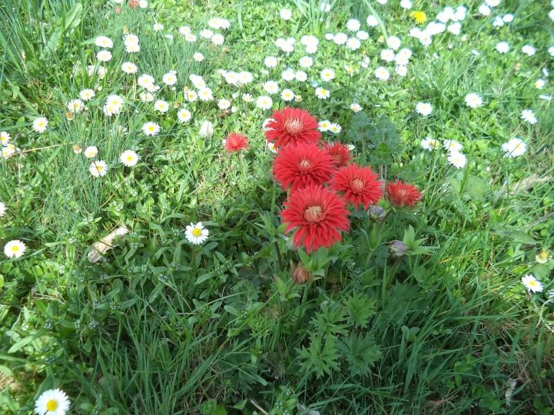 anemone pavonina Dsc00718