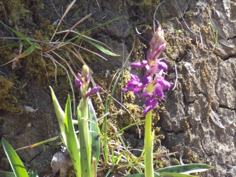 les orchidées du jour Dsc00811