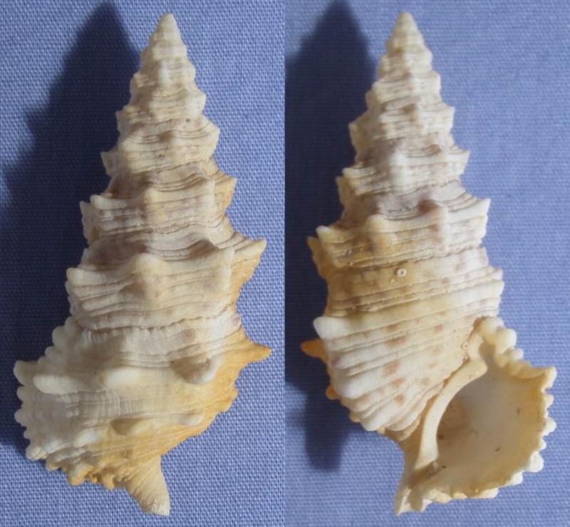 Cerithium echinatum - Lamarck, 1822  - Page 2 47_mm_10