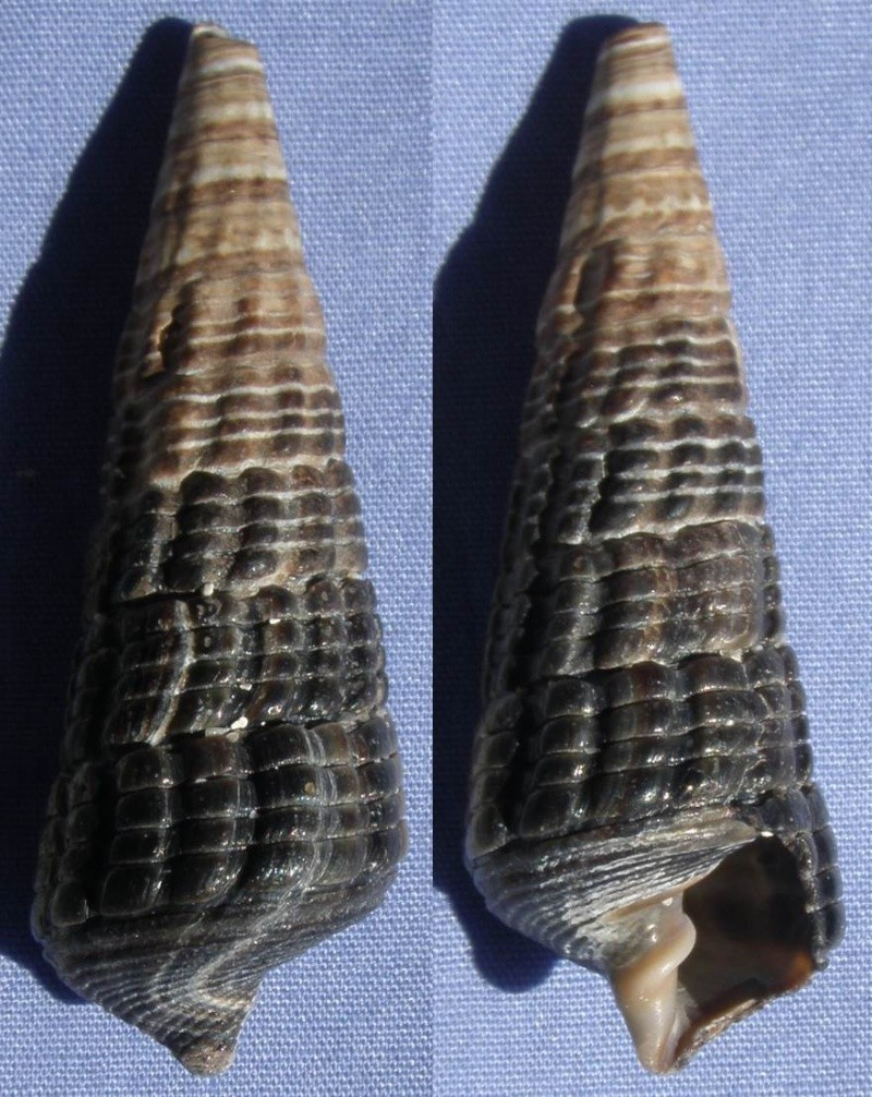 Terebralia palustris à confirmer 51_mm_10