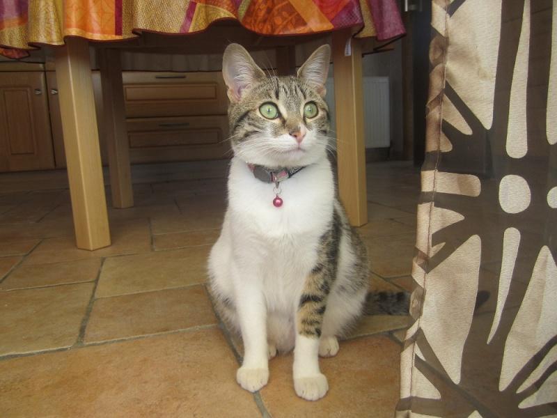 JOKE, chatonne tigrée et blanche, née début Mai 2014 Img_3810