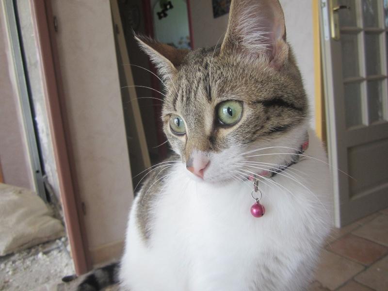 JOKE, chatonne tigrée et blanche, née début Mai 2014 Img_3811