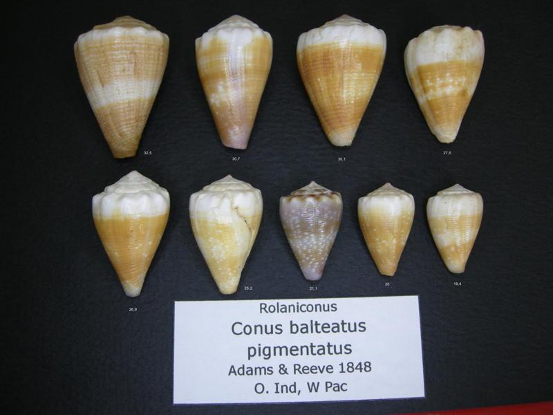 Conus (Floraconus) balteatus  (G. B. Sowerby I, 1833) - Page 2 Baltea11