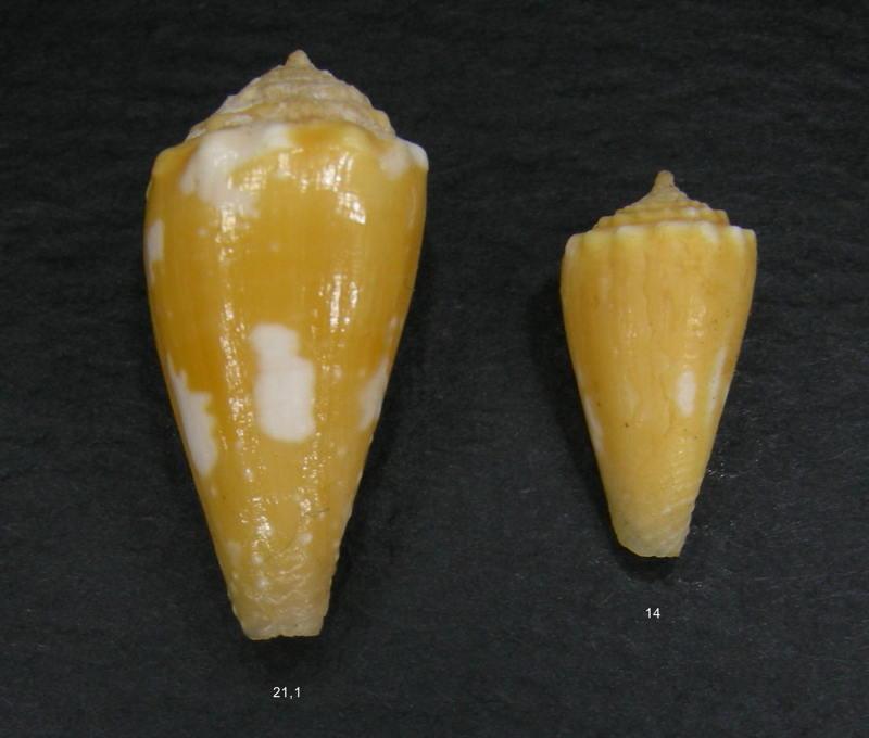 Conus (Phasmoconus) exiguus   Lamarck, 1810  - Page 2 Exiguu10