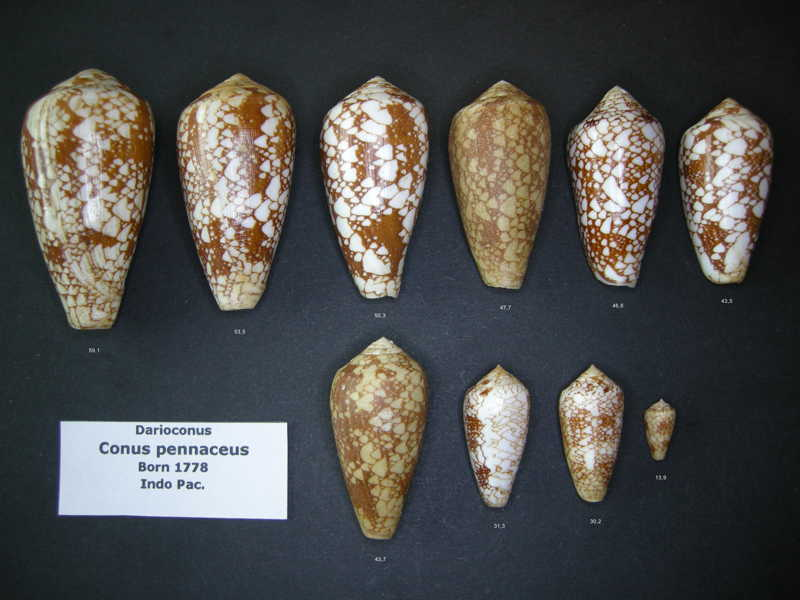 Conus (Darioconus) pennaceus   Born, 1778 - Page 2 Pennac11