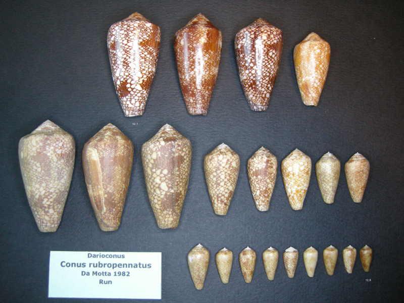 Conus (Darioconus) pennaceus rubropennatus  da Motta, 1982 voir Conus (Darioconus) pennaceus Born, 1778  Pennac12