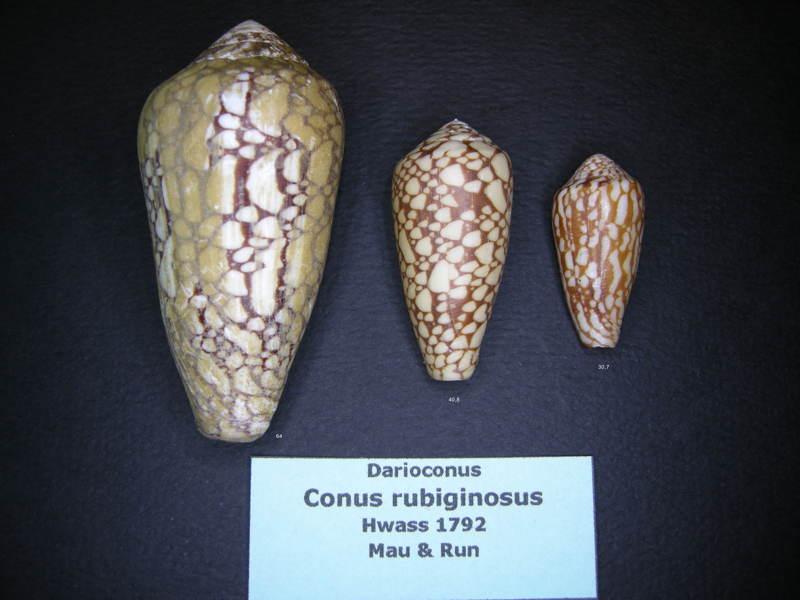 Conus (Darioconus) episcopus rubiginosus   Melvill, 1900 Pennac13
