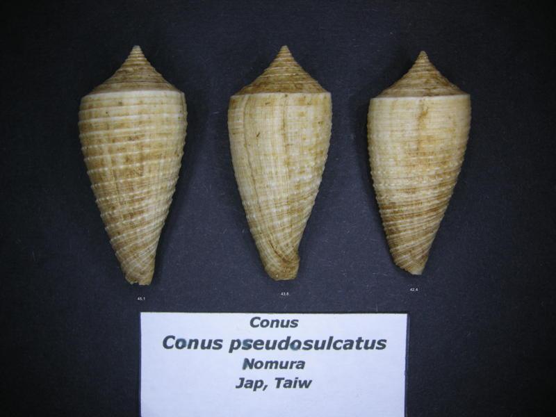Conus (Phasmoconus) asiaticus   da Motta, 1985 - Page 2 Pseudo11