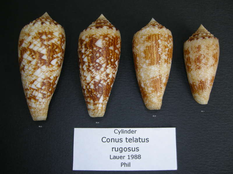 Conus (Cylinder) telatus   Reeve, 1848 Telatu10