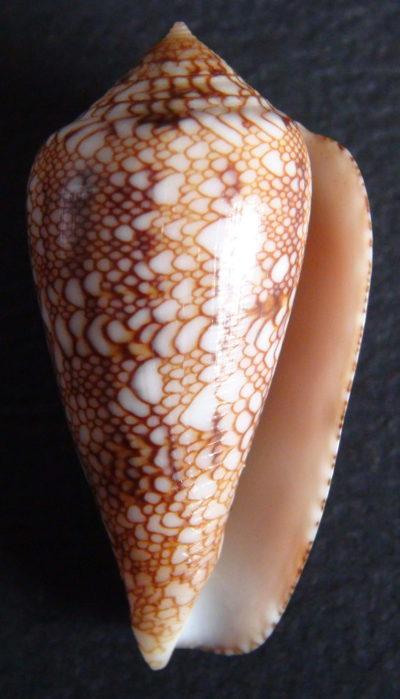 Conus (Cylinder) textile   Linnaeus, 1758 - Page 7 Textil12