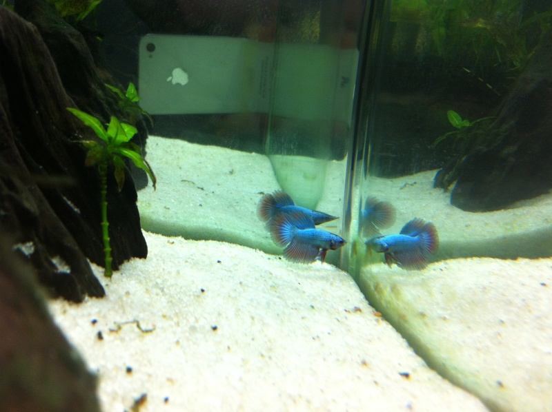 Jeune mâle bleu métallique Img_1110