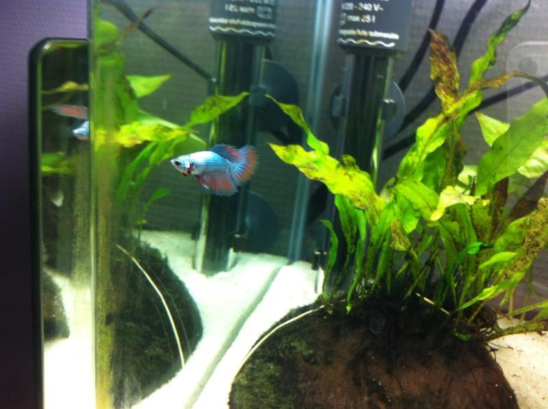 Jeune mâle bleu métallique Img_1113