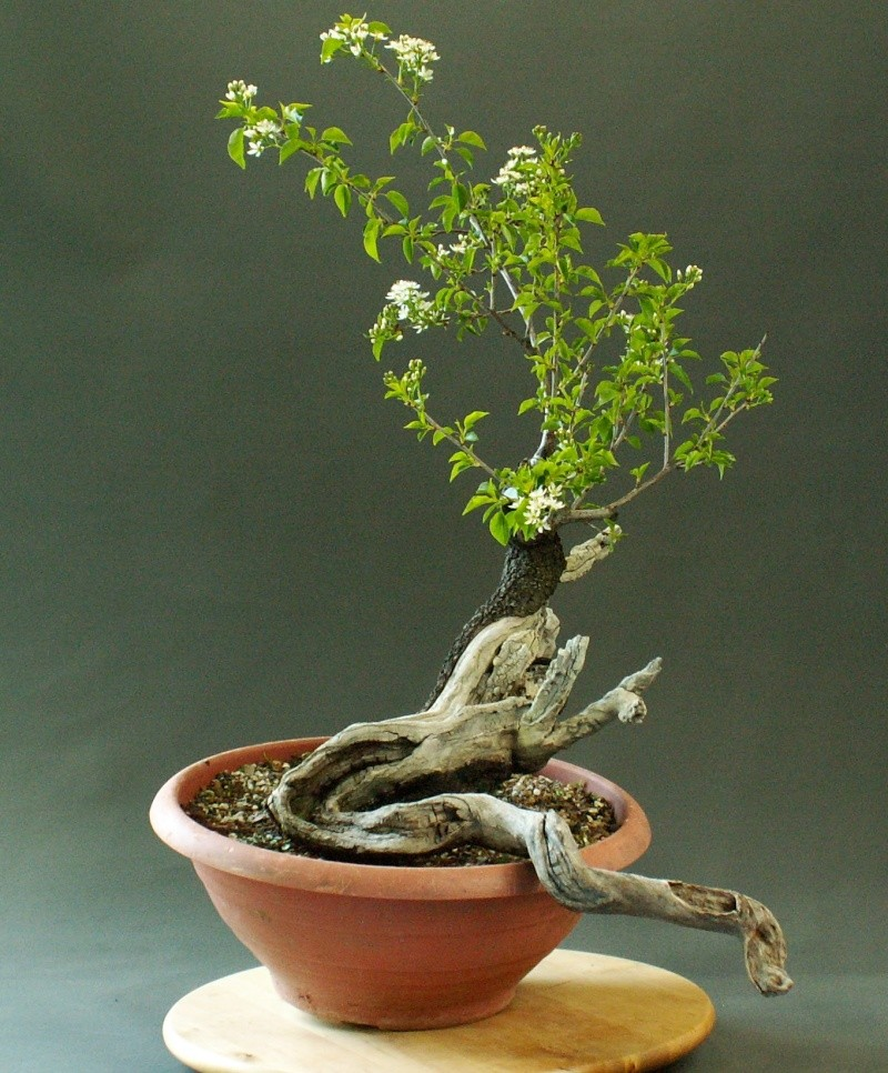 Yamadori - Prunus mahaleb April_14