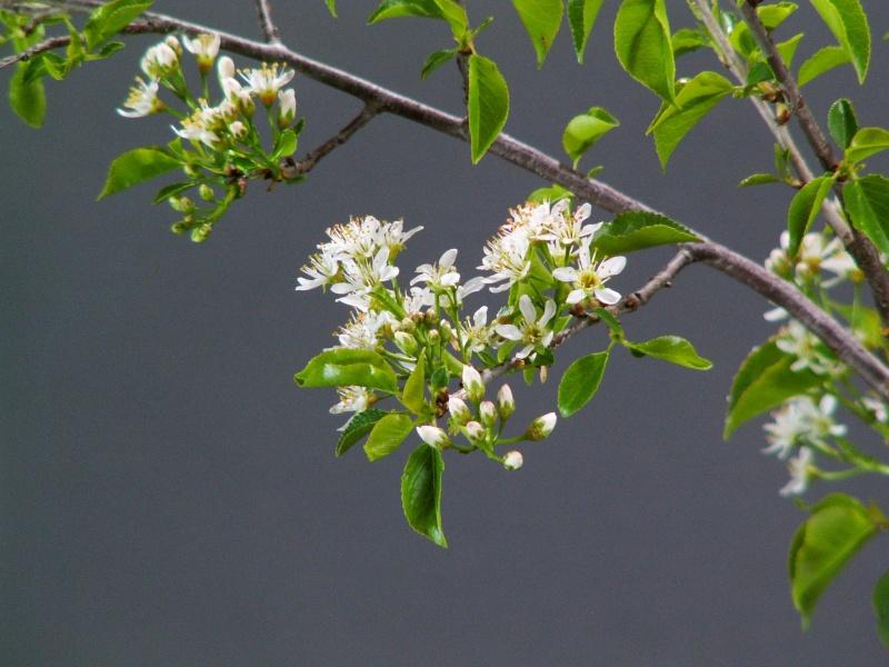 Yamadori - Prunus mahaleb April_15