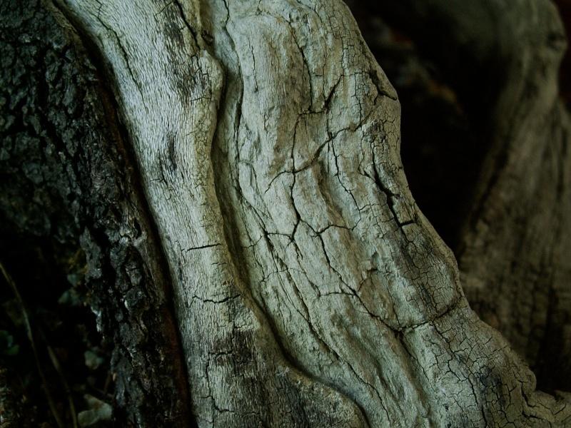 Yamadori - Prunus mahaleb April_16
