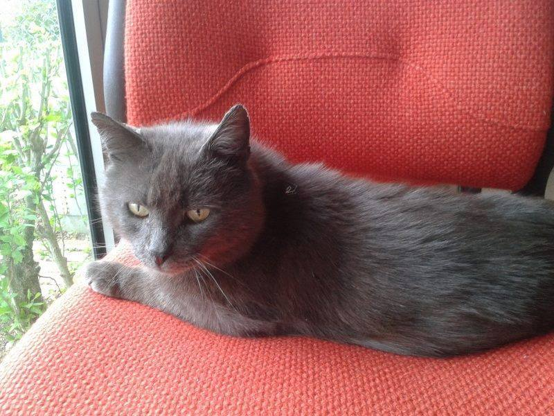Levi, mâle, 2007, type chartreux Levi_p10
