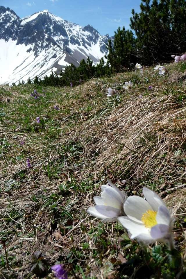 Bergfrühling: botantische Wanderung am Hahntennjoch/ Tirol P1310320